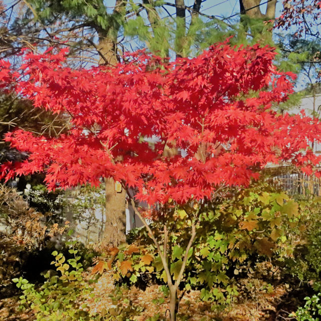 Acer p. 'Osakazuki' - Fall Color