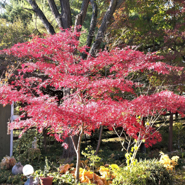 Acer p. 'Suminagashi' - Fall Color